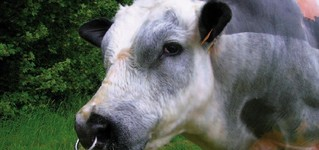 Belgian blue cattle international