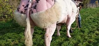 Belgian blue cattle international - JACKSON van de Stokerij
