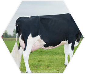 Belgian Blue Cattle International - Elevage de taureaux