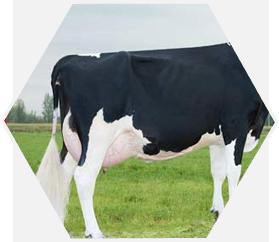 Belgian Blue Cattle International - Elevage de taureaux